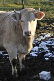 White cow that looking you Royalty Free Stock Photos