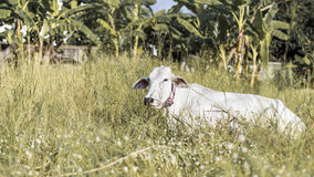 White cow Lumphun. Lamphun native cattle breeds.White cow Lumphun is name in Thailand stock photos