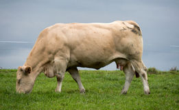 White cow in a meadow Royalty Free Stock Photography