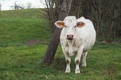White cow in a meadow in border copse of trees Stock Images
