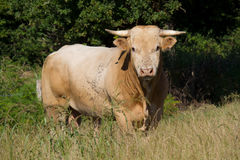 White cow in a meadow Royalty Free Stock Image