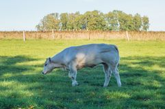 A white cow in the meadow in Gaume with sapphires and hilly fiel royalty free stock photos