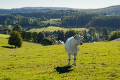 A white cow in the meadow stock photo