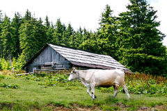 White cow near abandoned wooden shed in the forest Stock Image