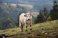 White cow on pasture on a mountain meadow. Royalty Free Stock Images