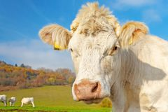 White cow on pasture on a sunny autumn day stock images