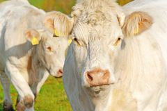 White cow on pasture on a sunny autumn day stock photography