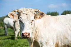 White cow portrait Stock Photography