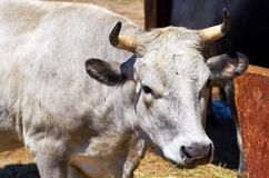 White cow portrait in the farm. White cow portrait in the farm royalty free stock image