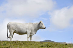 White cow pyrenees Royalty Free Stock Image