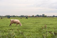 White cow grazes in the foreground in a large Dutch meadow. White cow with a cow recognition collar grazes in the foreground in a large meadow. In the background royalty free stock images