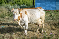 White cow with red spots. Royalty Free Stock Image