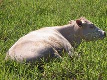 White Cow Resting in the Green Grass Royalty Free Stock Photography