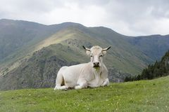 WHITE COW RESTING IN SPANISH OR CATALAN PYRENEES MOUNTAINS NEAR. OF NURIA VALLEY stock photography