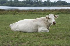 White cow sitting in the grass at the farm Royalty Free Stock Photography