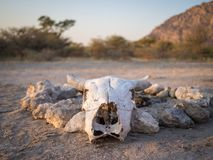 White cow skull in front of camp fire rock circle in Kalahari desert of Botswana, Africa Stock Image