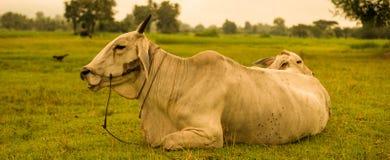 White Cow sleep Stock Photography