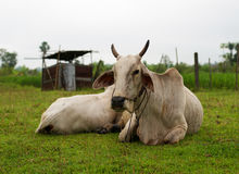 White Cow sleep Royalty Free Stock Images