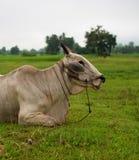 White Cow sleep Royalty Free Stock Photography