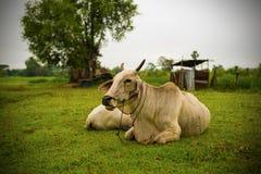 White Cow sleep Stock Photos