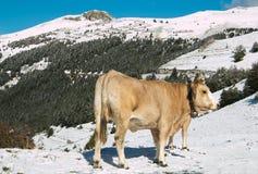 White cow on snowy mountain Stock Photos