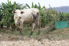 White cow stand on dry country field. Background Royalty Free Stock Photo