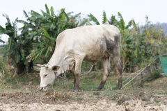 White cow stand on dry country field. Background Royalty Free Stock Photography