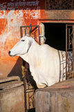White cow standing in a doorway of the house, Jaipur, Rajasthan, Stock Photo