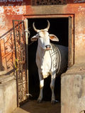 White cow standing in a doorway of the house, Jaipur, Rajasthan, Stock Images