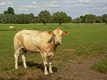 White cow standing in a lush green natural environment on the Flemish countryside - Bos Taurus royalty free stock images