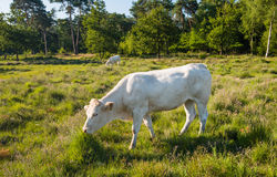 White cow standing in moorland with flowering heather Royalty Free Stock Image