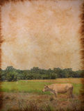 White cow standing with rice field. Landscape in the vintage paper Stock Photography