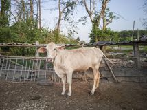 The white cow stands gracefully on a farm. stock photo