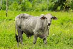 White cow stands in pasture Stock Images