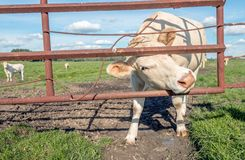 White cow turns its head through a rusty iron gate to pose well. A white cow turns its head between the bars of an old rusty iron gate to see the photographer stock photos