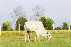 White cow walking and eating grass in a field Royalty Free Stock Image