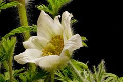 White cowbell - Pulsatilla - on black background. Strong colors - atmospheric stock photos