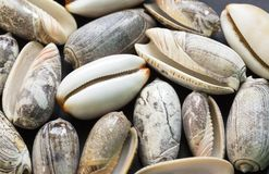 White cowrie shell photo texture. Nautical flat lay background. Royalty Free Stock Photo