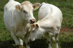 White cows. Royalty Free Stock Image