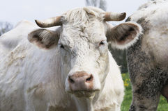 White cows. In French pastures at the Bourgogne landscape Stock Images