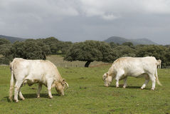 White cows. Stock Photos