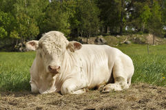 White cows Stock Images