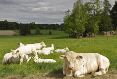 White cows Royalty Free Stock Photos