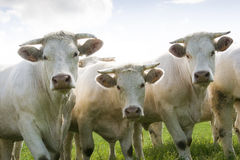 White cows. Three white cows standing together, Bayet, Auvergne, France Stock Image