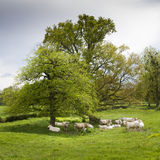White cows. A group of white cows in the shade of a tree in a meadow, Auvergne, France Royalty Free Stock Image
