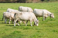 White cows in Dutch pasture Stock Photo