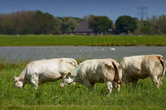 White cows in a Dutch scene Stock Images