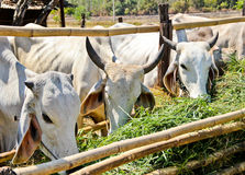 White Cows in feeding place Royalty Free Stock Photos