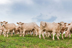 White cows on the field at the pasture. White cows on the meadow at the countryside Royalty Free Stock Photo