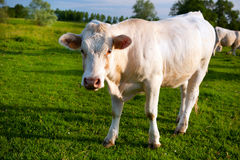 White cows in French Bourgogne Stock Images